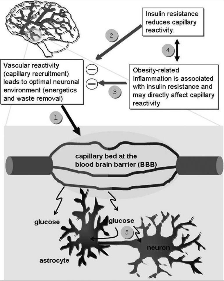 Hypothesized Brain Vascuar Reactivity